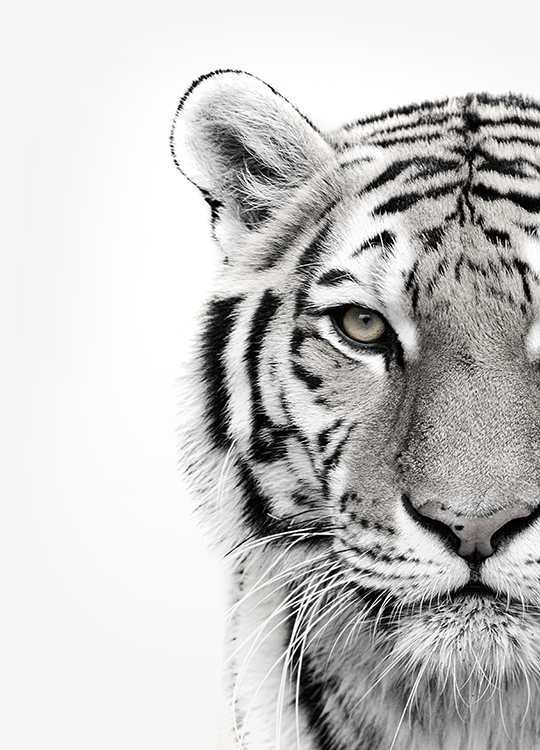 white tiger poster, artroom