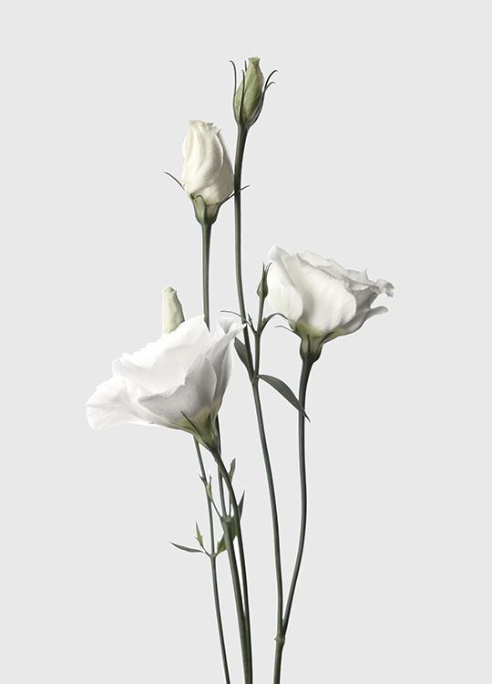ROSES WHITE POSTER