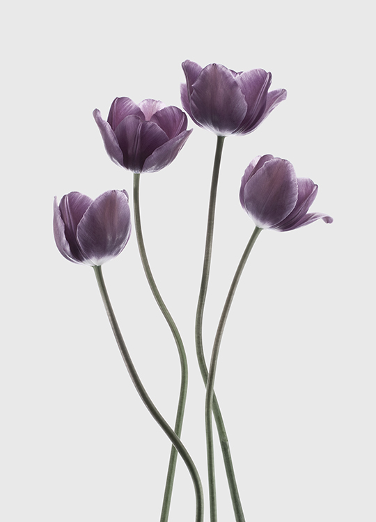 TULIPS PURPLE POSTER