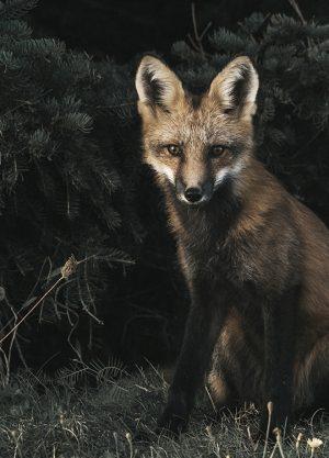 FOXY FOX POSTER, artroom.no